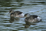 537910010 Least Grebes Tachybapitus dominicus WILD; Pair swimming in pond; Tamaulipas State, Mexico