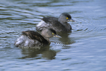 537910011 Least Grebes Tachybapitus dominicus WILD; Pair swimming in pond; Tamaulipas State, Mexico