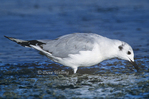 539853007 Bonaparte's Gull Larus philadelphia WILDl Adult in winter plumage feeding along shoreline; Salton Sea National Wildlife Refuge, California. Extensive coverage of a wide range of avian and other wildlife species, all identified by Latin name.