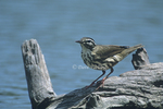592820001 Northern Waterthrush Seirus noveboracensis WILD; Perched on log by pond; Rio Grande Valley, Texas. Extensive coverage of a wide range of avian and other wildlife species, all identified by Latin name.