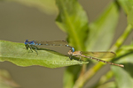 338400009 a wild pair of blue-ringed dancers argia sedula damselflies copulate or mate while perched on a leaf above canon grande creek in dimmit county texas united states. Extensive coverage of a wide range of insect and other wildlife species, all identified by Latin name.