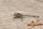 334060009 a wild male oklahoma clubtail gomphus oklahomensis perches on the ground in the lance rosier unit of the big thicket preserve in east texas. Extensive coverage of a wide range of insect and other wildlife species, all identified by Latin name.