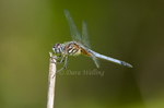 339900015 a wild male blue dasher pachydiplax longipennis dragonfly perches on a dead twig in caddo lake national wildlife refuge in marion county texas. Extensive coverage of a wide range of insect and other wildlife species, all identified by Latin name.