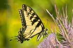 390330001 a wild eastern tiger swallowtail butterfly papilio glaucus feeds on a giant texas thistle plant in caddo lake national wildlife refuge in marion county texas. Extensive coverage of a wide range of insect and other wildlife species, all identified by Latin name.