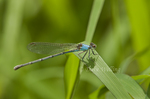338550014 a wild unlined blue colored female powdered dancer damselfly argia moesta perches on a blade of grass near santa ana national wildlife refuge in the rio grande valley south texas. Extensive coverage of a wide range of insect and other wildlife species, all identified by Latin name.