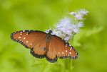 379900016 a wild queen butterfly danus glippus perches on a mistflower conoclinium coelestinum in the rio grande valley hidalgo county south texas united states. Extensive coverage of a wide range of insect and other wildlife species, all identified by Latin name.