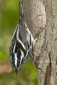 591350010 a wild male black-and-white warbler mniotilta varia forages for insects on a tree limb on south padre island in cameron county texas. Extensive coverage of a wide range of avian and other wildlife species, all identified by Latin name.