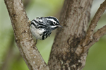 591350013 a wild male black-and-white warbler mniotilta varia forages for insects on a tree limb on south padre island in cameron county texas. Extensive coverage of a wide range of avian and other wildlife species, all identified by Latin name.