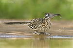 576010030 a wild greater roadrunner geococcyx californianus drinks from a small pond in the rio grande valley texas united states. Extensive coverage of a wide range of avian and other wildlife species, all identified by Latin name.