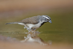 578670034 a wild adult black-throated sparrow amphispiza bilineata bathing and standing in a pond in the lower rio grande valley in south texas in the united states. Extensive coverage of a wide range of avian and other wildlife species, all identified by Latin name.