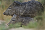 650520140 wild javelinas or collared peccaries dicolytes tajacu in the rio grande valley texas united states. Extensive coverage of a wide range of mammal and other wildlife species, all identified by Latin name.