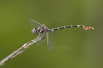 360220023 a wild male five-striped leaftail phyllogomphoides albrighti dragonfly perches on a stick in the lower rio grande valley of south texas. Extensive coverage of a wide range of insect and other wildlife species, all identified by Latin name.