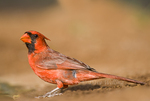 511650090 a wild male northern cardinal cardinalis cardinalis in the rio grande valley of south texas. Extensive coverage of a wide range of avian and other wildlife species, all identified by Latin name.