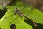 333930008 a wild male cobra clubtail dragonfly gomphus vastus perches on a leaf at hornsby bend travis county texas. Extensive coverage of a wide range of insect and other wildlife species, all identified by Latin name.