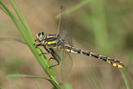 334070014 a wild male plains clubtail dragonfly gomphus externus perches on a grass stem at hornsby bend travis county texas. Extensive coverage of a wide range of insect and other wildlife species, all identified by Latin name.