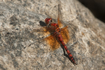 389190001 a wild male red rock skimmer dragonfly paltothemis lineatips perches on a rock on piru creek los angeles county california. Extensive coverage of a wide range of insect and other wildlife species, all identified by Latin name.