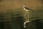 579506570 a wild juvenile black-necked stilt himantopus mexicanus wades in the salton sea while foraging for food. Extensive coverage of a wide range of avian and other wildlife species, all identified by Latin name.