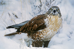541800006 a wild wildlife rescue ferruginous hawk buteo regalis poses in a snow bank in central colorado united states. Extensive coverage of a wide range of avian and other wildlife species, all identified by Latin name.