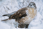 541800011 a wild wildlife rescue ferruginous hawk buteo regalis poses in a snow bank in central colorado united states. Extensive coverage of a wide range of avian and other wildlife species, all identified by Latin name.