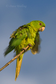 566700079 a wild green parakeet aratinga holochlora rousts while perched in a tree in laredo webb county texas united states. Extensive coverage of a wide range of avian and other wildlife species, all identified by Latin name.