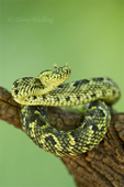 489550012 a captive usambara mountains eyelash bush viper atheris ceratophora sits coiled on a tree stump species is newly recorded and native to the usambara mountains of tanzania. Extensive coverage of a wide range of reptile, amphibian and other wildlife species, all identified by Latin name.