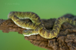 489040021 a captive broadleys bush viper atheris broadleyi sits coiled on a tree limb species is native to africa. Extensive coverage of a wide range of reptile, amphibian and other wildlife species, all identified by Latin name. 