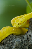 489180019 a captive golden yellow with black flecks eyelash viper bothriechis schlegelii sits coiled on a tree limb species is native to south and central america. Extensive coverage of a wide range of reptile, amphibian and other wildlife species, all identified by Latin name. 