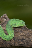489590010 a captive bluish-green coloration west african bush viper atheris chlorechis sits coiled on a limb. Extensive coverage of a wide range of reptile, amphibian and other wildlife species, all identified by Latin name.