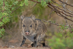 650520200 a baby javelina or collared peccary dicolytes tajacu on beto gutierrez ranch hidalgo county texas united states. Extensive coverage of a wide range of mammal and other wildlife species, all identified by Latin name.