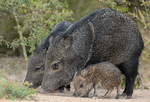650520203 a wild baby javelina dicolytes tajacu interacts with its mother on beto gutierrez ranch hidalgo county texas united states. Extensive coverage of a wide range of mammal and other wildlife species, all identified by Latin name.