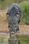 650520206 a wild javelina or collared peccary dicolytes tajacu drinks from a small pond on beto gutierrez ranch hidalgo county texas united states. Extensive coverage of a wide range of mammal and other wildlife species, all identified by Latin name.
