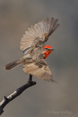 530180039 a wild male vermillion flycatcher pyrocephalus rubinus perches on a dead mesquite tree branch in the madera grasslands green valley arizona united states. Extensive coverage of a wide range of avian and other wildlife species, all identified by Latin name.