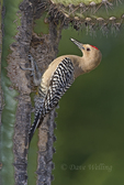 597910019 a wild male gila woodpecker melanerpes uropygialis perches at a cavity nest in a giant saguaro cactus carnegiea gigantea at catalina state park in tucson arizona united states
