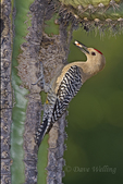 597910021 a wild male gila woodpecker melanerpes uropygialis perches at a cavity nest in a giant saguaro cactus carnegiea gigantea at catalina state park in tucson arizona united states