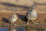574470023 a wild female and chick gambel's quail drinks from a small pond near green valley arizona united states. Extensive coverage of a wide range of avian and other wildlife species, all identified by Latin name.