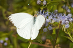 398500001 a wild female florida white butterfly appias drusilla at the naba site in mission hidalgo county lower rio grande valley texas united states. Extensive coverage of a wide range of insect and other wildlife species, all identified by Latin name.