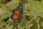 378460001 a wild crimson patch butterfly  chlosyne janais at  the naba site in mission hidalgo county lower rio grande valley texas united states. Extensive coverage of a wide range of insect and other wildlife species, all identified by Latin name.