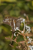 360380002 a wild white-striped longtail butterlfy chioides catillus at  the naba site in mission hidalgo county lower rio grande valley texas united states. Extensive coverage of a wide range of insect and other wildlife species, all identified by Latin name.