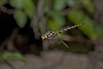 339510003 a wild male harlequin darner dragonfly gompheaschna furcillata hovers in flight above indian creek jasper county texas united states. Extensive coverage of a wide range of insect and other wildlife species, all identified by Latin name.
