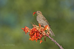 528800260 a wild female house finch podocarpus mexicana feeds on a flowering ocotillo plant foquieria splendens in southern arizona. Extensive coverage of a wide range of avian and other wildlife species, all identified by Latin name.