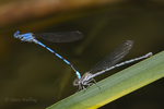 338430001 a wild pair of california dancer damselflies argai agrioides perch in copula on a cattail reed in piru creek frenchmans flat los angeles county california united states. Extensive coverage of a wide range of insect and other wildlife species, all identified by Latin name.