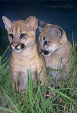 656324012 a captive pair of wildlife rescue mountain lion cubs felis concolor sit in tall grasses in central florida. Extensive coverage of a wide range of mammal and other wildlife species, all identified by Latin name.