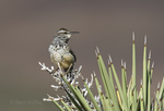 598060025 a wild adult cactus wren campylorhynchus brunniecepillus sings from the spine leaves of a joshua tree yucca brevifolia in southern kern county california. Extensive coverage of a wide range of avian and other wildlife species, all identified by Latin name.