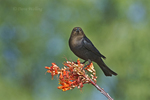 512460017 a wild male brown-headed cowbird molothrus ater perches on a flowering ocotillo plant foqueria splendens in green valley arizona united states. Extensive coverage of a wide range of avian and other wildlife species, all identified by Latin name.