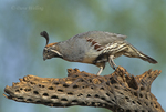 574470026 a wild male gambel's quail callipepla gambelli perches on a dead cholla plant skeleton in green valley arizona united states. Extensive coverage of a wide range of avian and other wildlife species, all identified by Latin name.