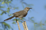 581990069 a wild curve-billed thrasher toxostoma curvirostre perches on a dead limb  southern arizona. Extensive coverage of a wide range of avian and other wildlife species, all identified by Latin name.