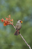 573900056 a wild male pyrrhuloxia cardinalis sinatus perches on a flowering ocotillo plant in southern arizona. Extensive coverage of a wide range of avian and other wildlife species, all identified by Latin name.