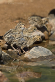 574470035 wild gambel's quail chicks callipepla gambelli drink from a pond in green valley arizona united states. Extensive coverage of a wide range of avian and other wildlife species, all identified by Latin name.