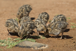 574470037 wild gambel's quail chicks callipepla gambelli forage along the ground in green valley arizona united states. Extensive coverage of a wide range of avian and other wildlife species, all identified by Latin name.