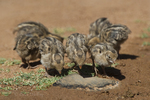 574470038 wild gambel's quail chicks callipepla gambelli forage along the ground in green valley arizona united states. Extensive coverage of a wide range of avian and other wildlife species, all identified by Latin name.
